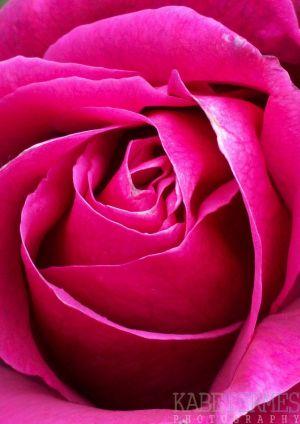 rose-close-c34.jpg