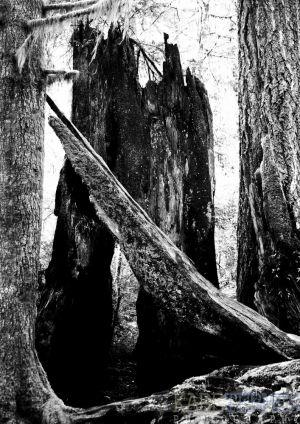 BurnedRedwood-c73.jpg