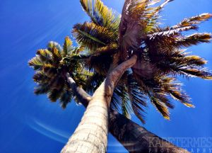 Puerto Rican Palm